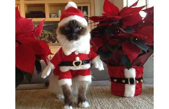 funny christmas cat pictures elf costume
