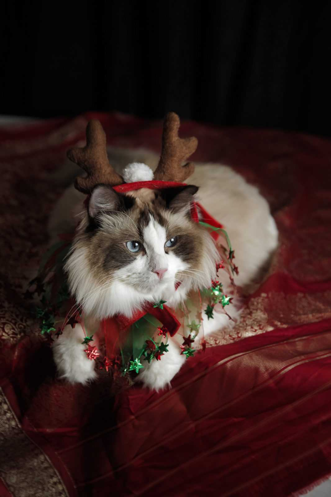 funny christmas cat pictures cat with reindeer ears