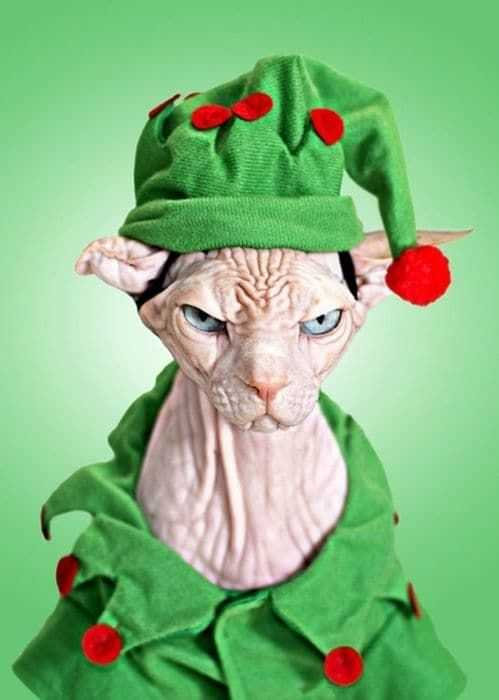 funny christmas cat pictures grumpy elf