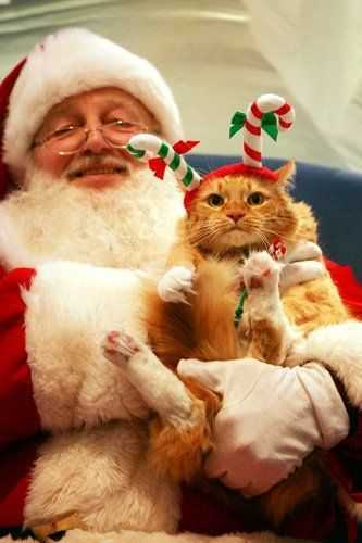 funny christmas cat pictures cat with candy cane ears on Santa's lap