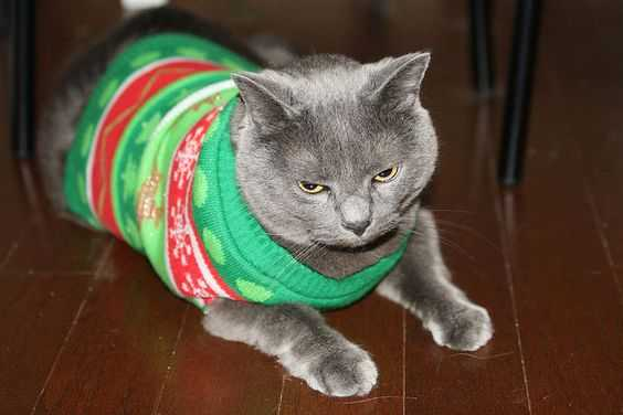 funny christmas cat pictures cat with ugly christmas sweater 2