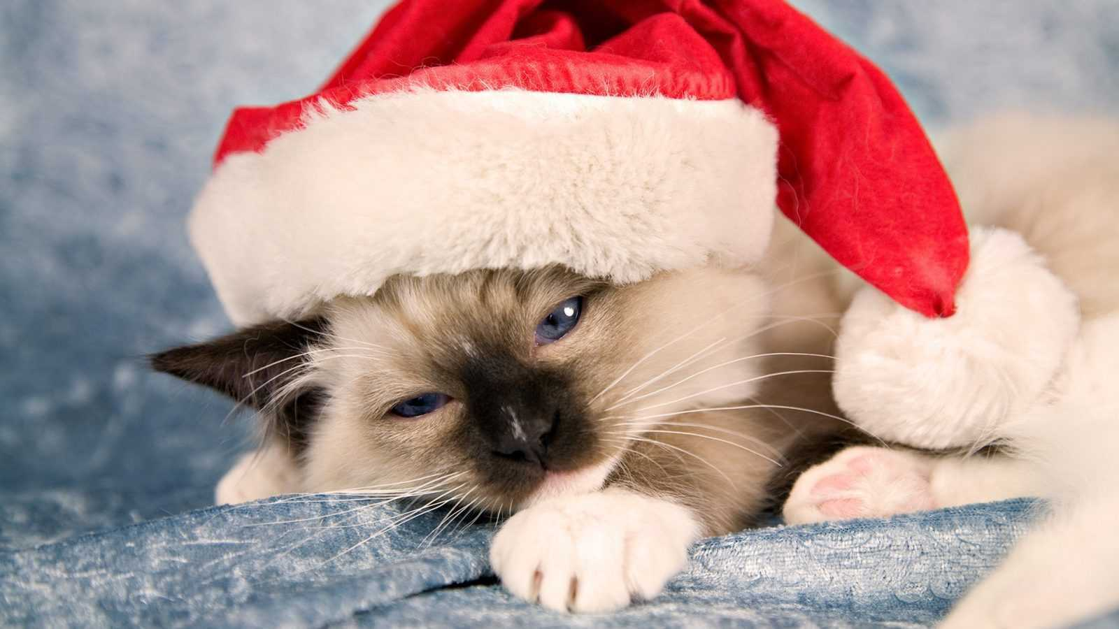 funny christmas cat pictures Santa hat