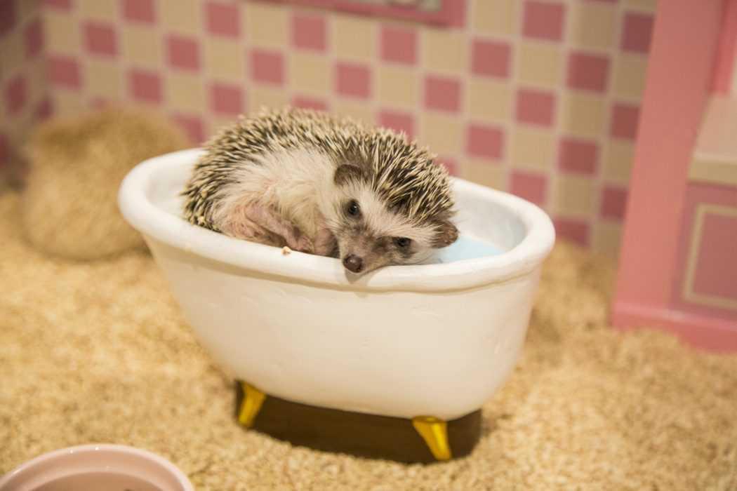 cute hedgehog pictures - hedgehog in hedgehog size bathtub