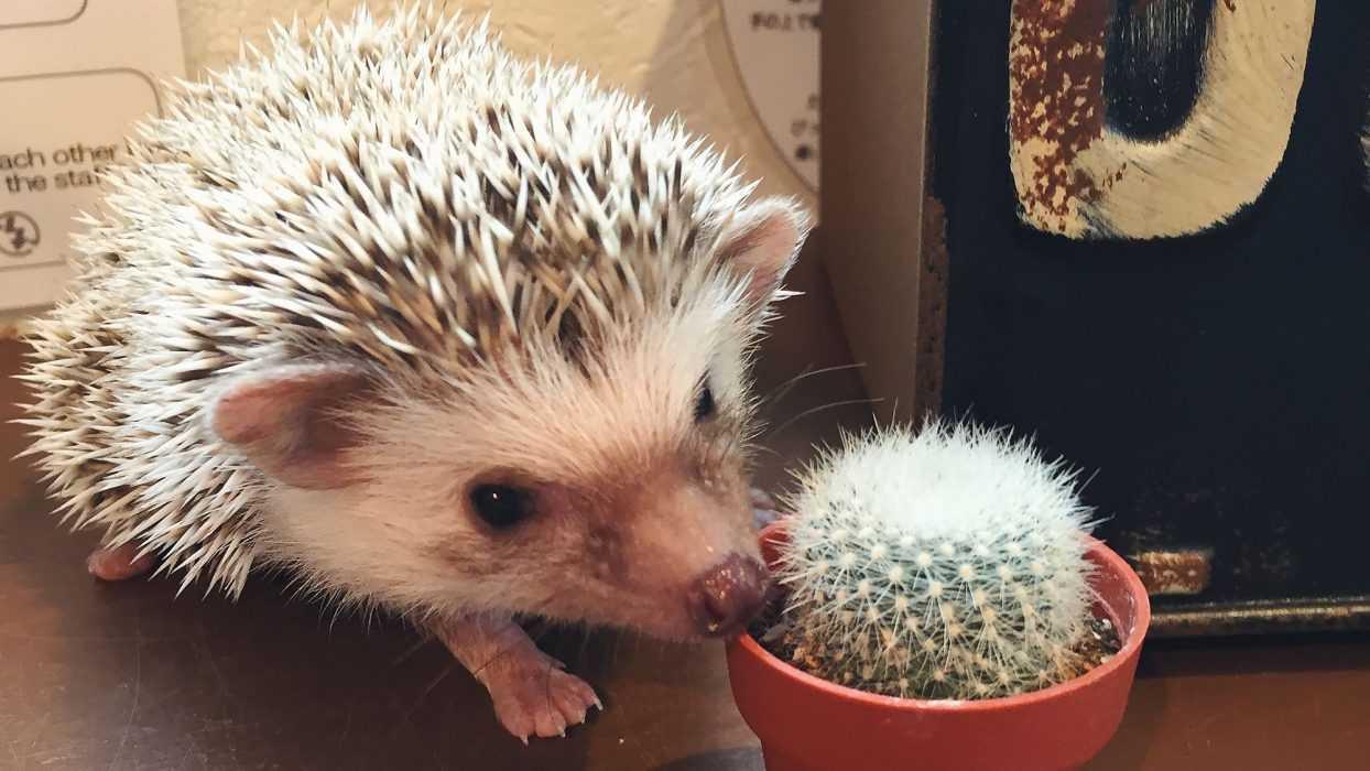 cute hedgehog pictures - hedgehog next to cactus
