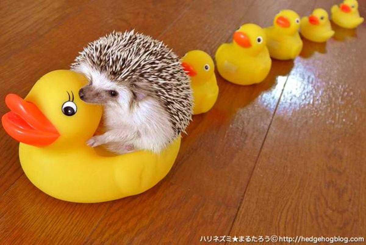 cute hedgehog pictures - rubberducks and hedgehog