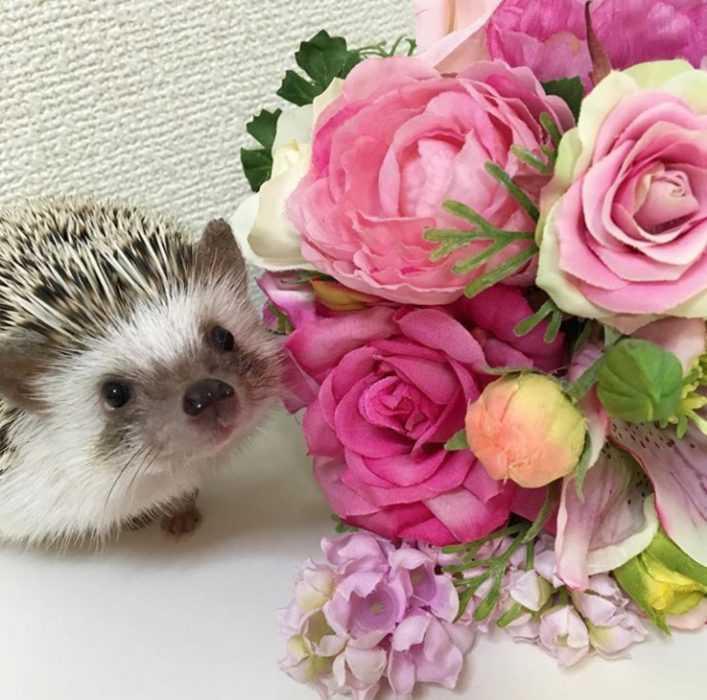 cute hedgehog pictures - hedgehog posing next to roses