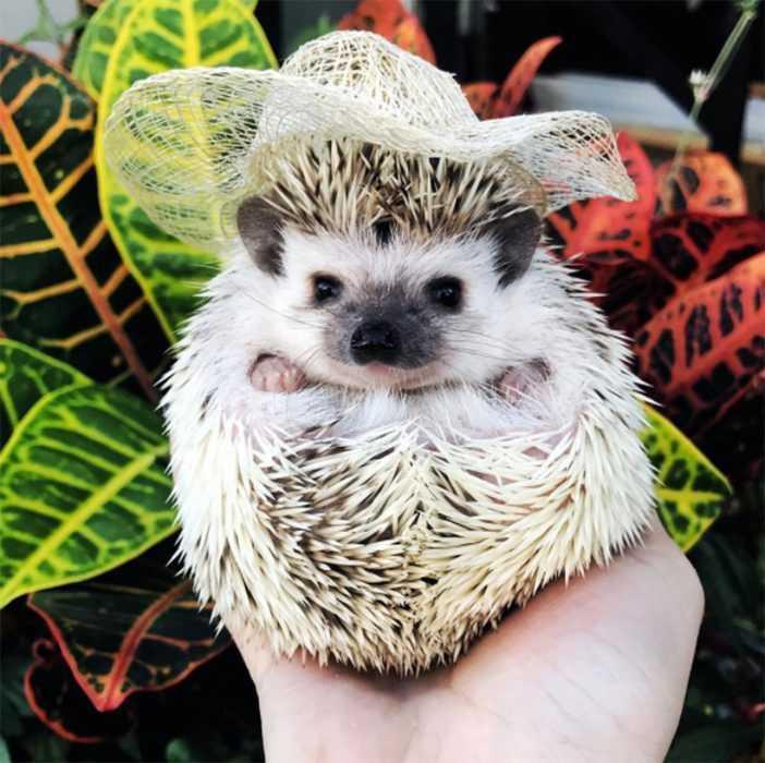 cute hedgehog pictures - fancy hat hedgehog