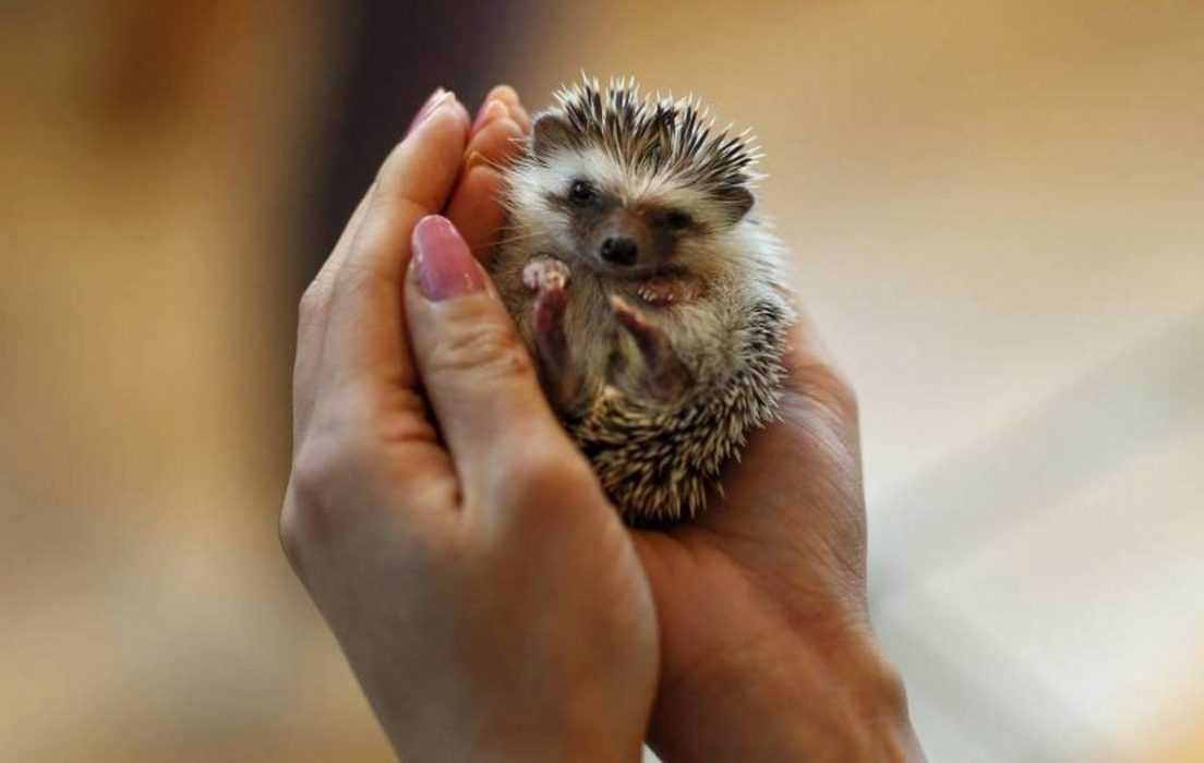 cute hedgehog pictures - hedgehog in palm of your hand