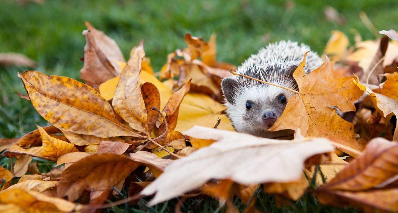 cute hedgehog pictures - hedge hog in fall leaves