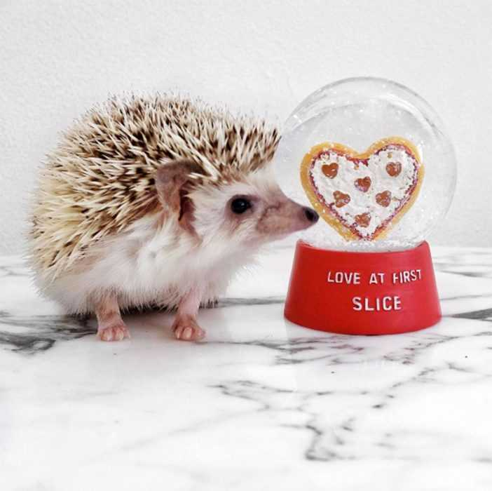 cute hedgehog pictures - hedgehog next to a love at first slice snowglobe