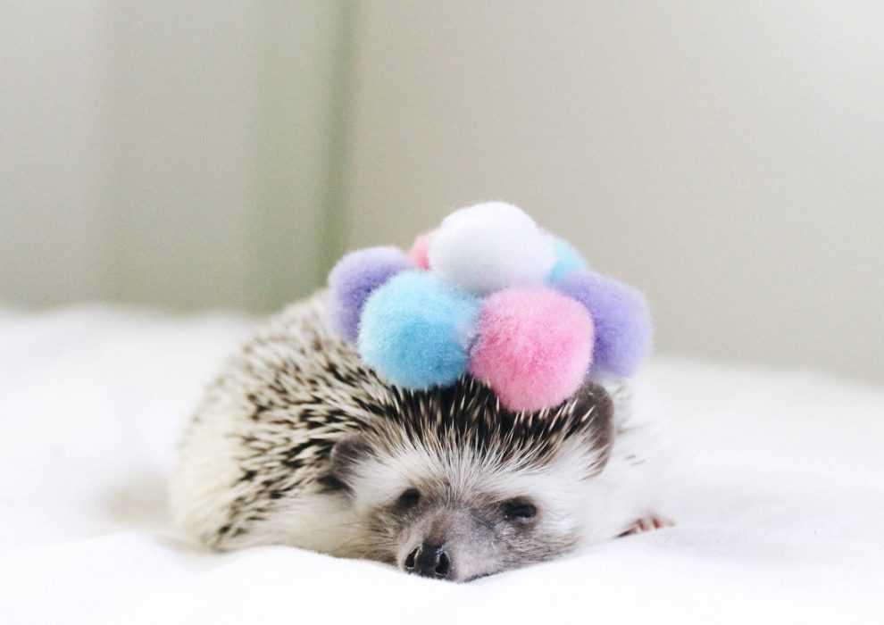 cute hedgehog pictures - hedgehog hat of pompoms