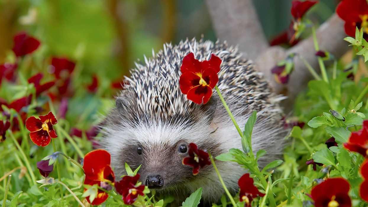 cute hedgehog pictures - hedgehog hiding in flowers