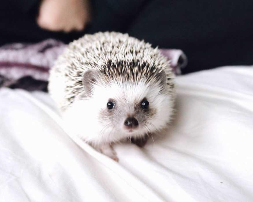 cute hedgehog pictures - hedgehog on duvet