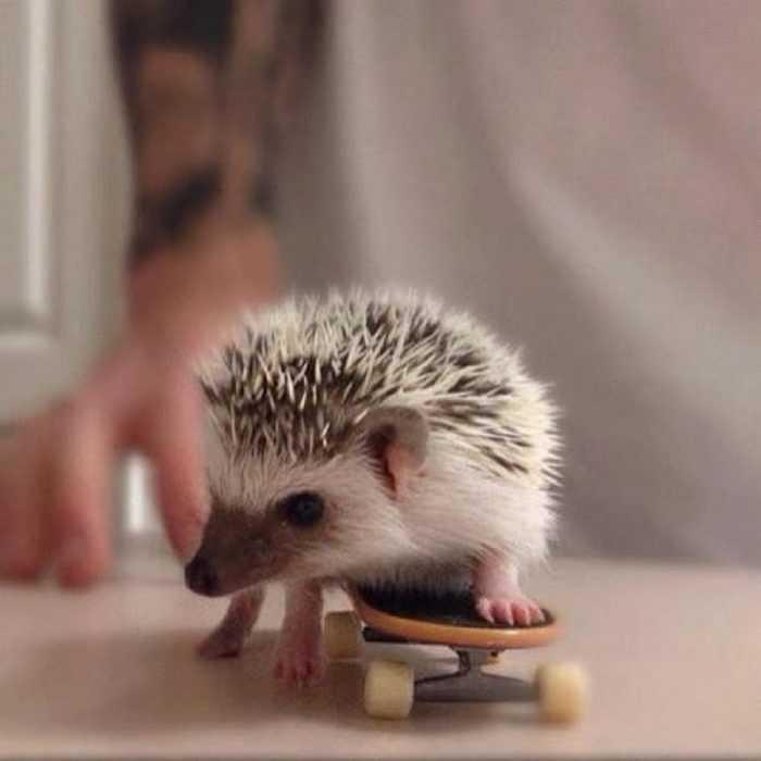 cute hedgehog pictures - hedgehog on a skateboard