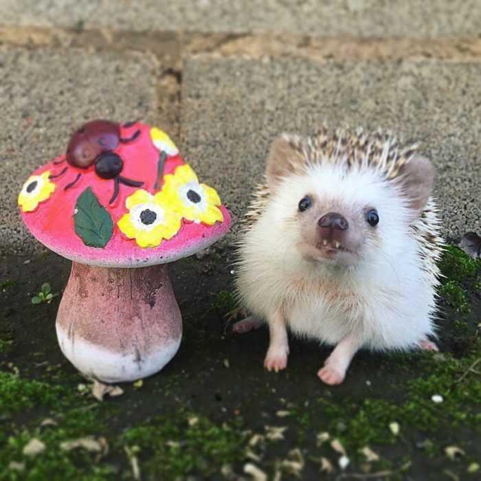 cute hedgehog pictures - hedgehog next to decorative mushroom