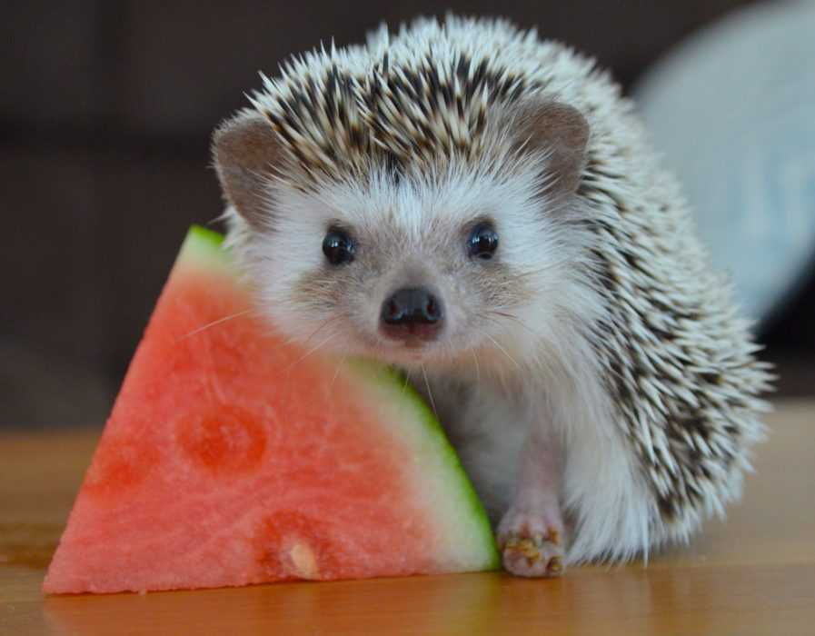 cute hedgehog pictures - hedgehog with watermelon
