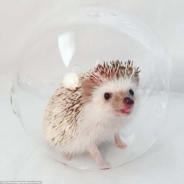cute hedgehog pictures - hedgehog in a glass jar