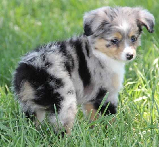 adorable dogs - baby aussie
