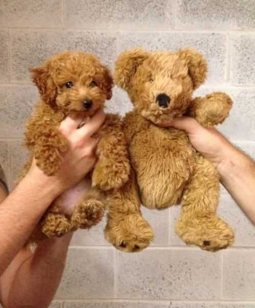 adorable dogs - bear dog