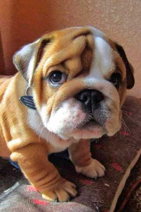 adorable dogs - bulldog pup