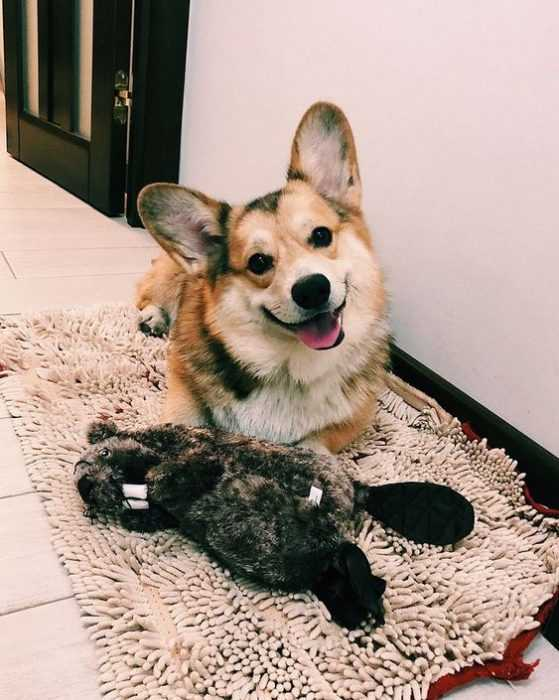 adorable dogs - corgi rug