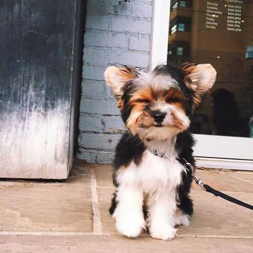 adorable dogs - yorkie