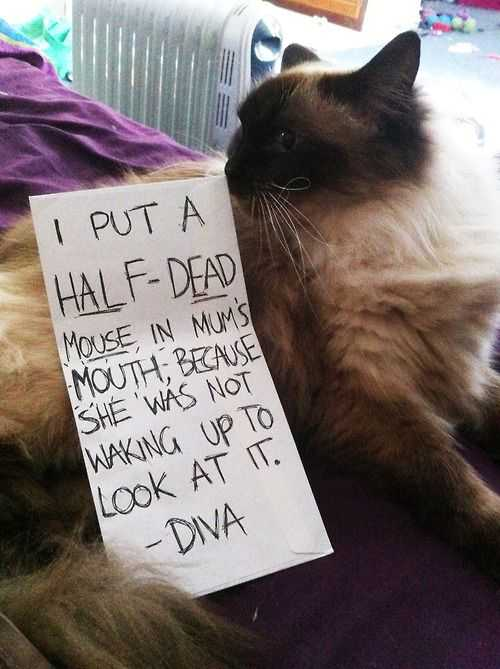 cat shaming pics - dead mouse on sleeping owner