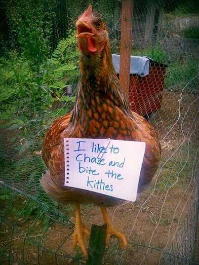 chicken shaming - bites kittens
