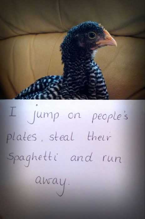 chicken shaming - pet chicken spaghetti thief