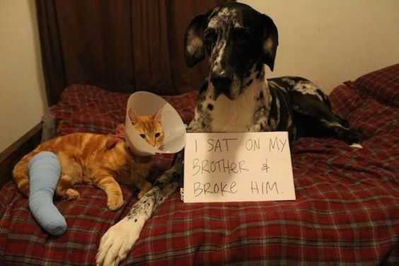 dog shaming - broke family member by sitting on him