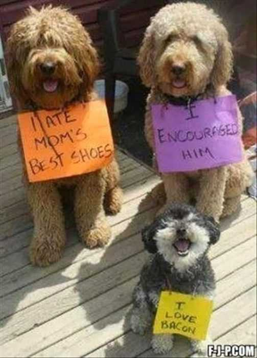dog shaming - ate owner's shoes