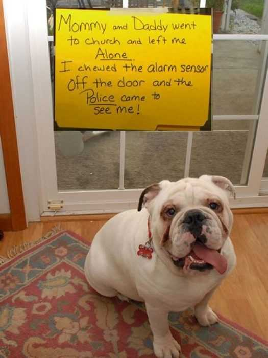dog shaming - ate alarm sensor which alerted police