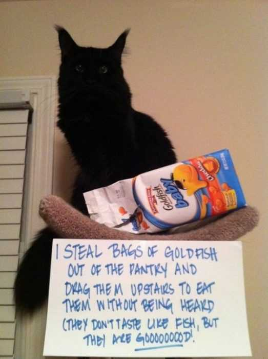 cat shaming - eats goldfish biscuits