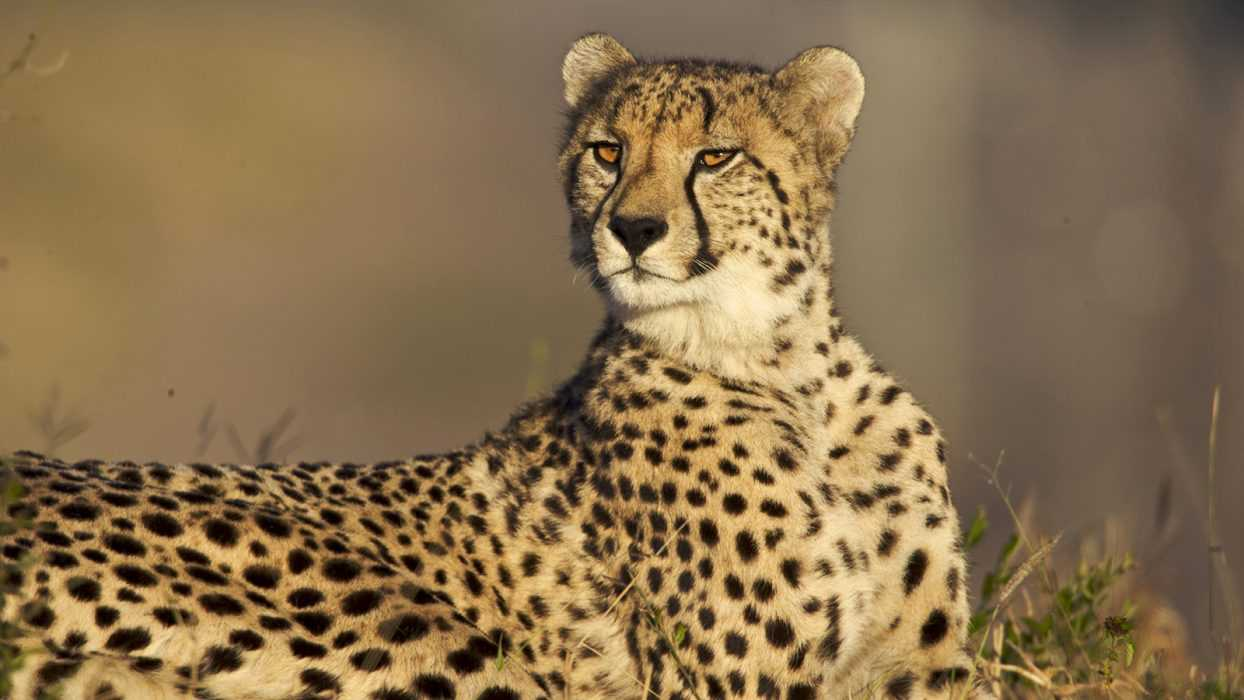 Safari Trip Becomes Interesting After Curious Cheetah