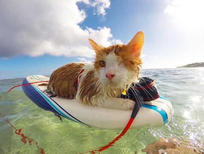 Photogenic Cats - surfer cat
