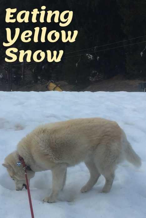 husky eating yellow snow