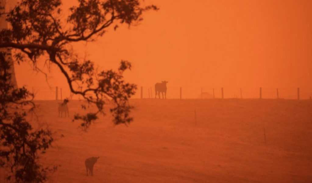 a cow in a field colored by reflection of raging wildfires