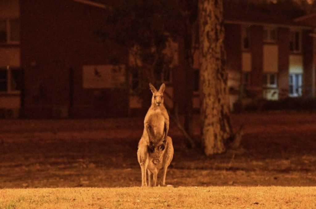 Kangaroo stares at raging wildfires