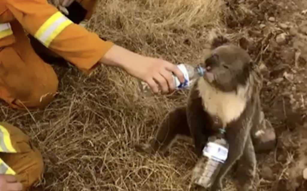 koala drinking water from a bottle held by rescuer