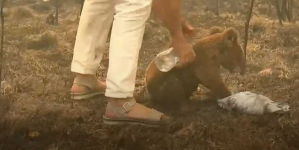 a woman pours water on koala suffering burns from raging wildfires
