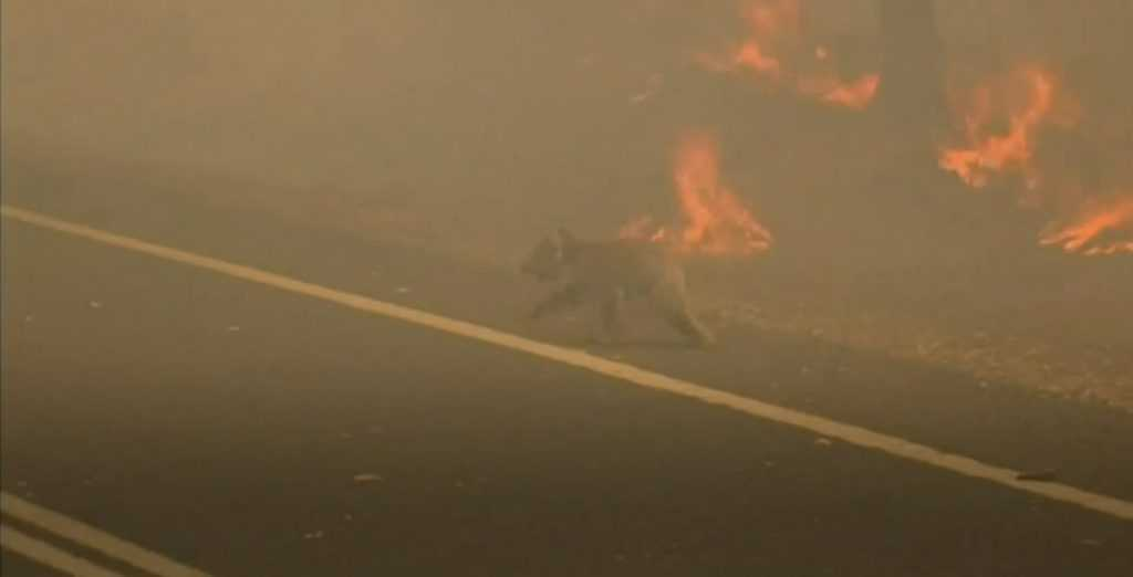 koala escapes raging wildfires by crossing road