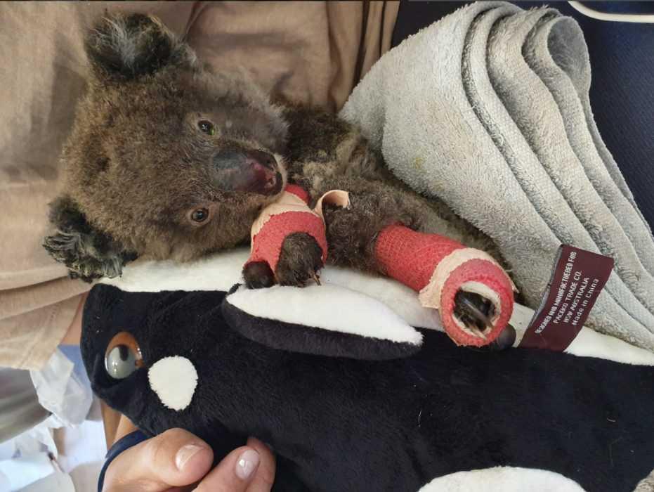 koala lying in blanket after burn treatment