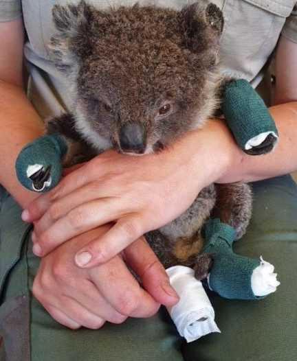 rescued koala resting after being treated for burns