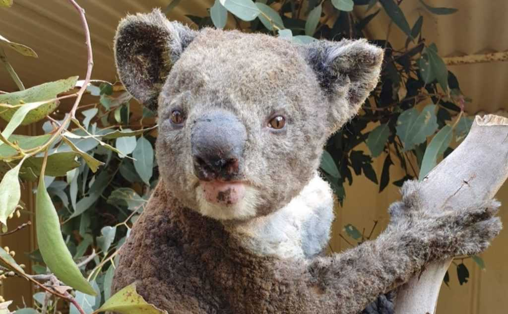 koala with patchy fur after suffering minor burns from raging wildfires