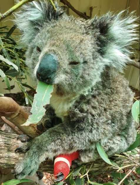 a koala falls asleep while eating after being treated for burns