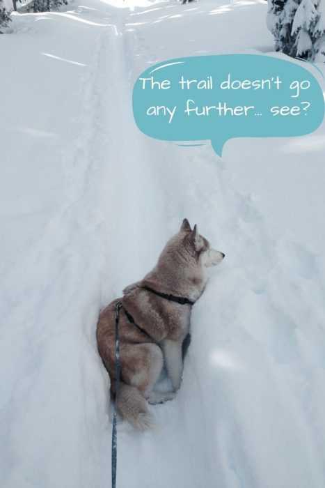 husky wedged sideways in trail in snow