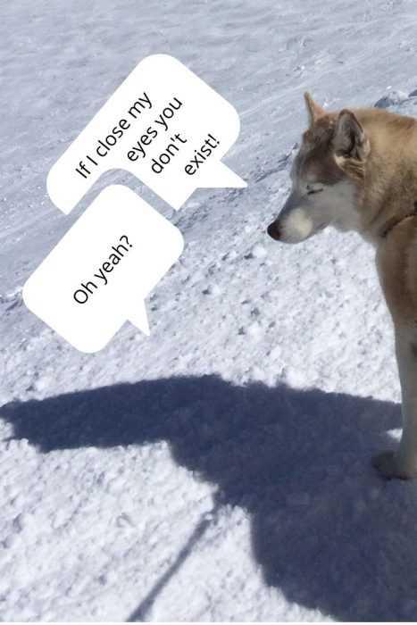 husky ignoring its shadow