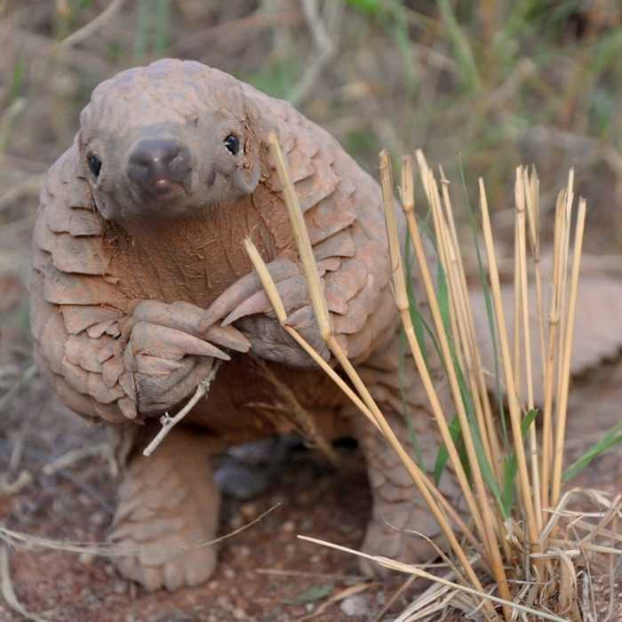 cute pangolin pictures - pangolin rubbing hands in contemplationg