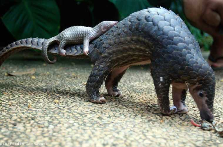 cute pangolin pictures - sleeping pangolin