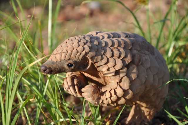 cute pangolin pictures - pangolin sniffing grass